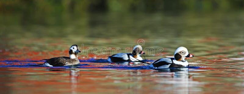 Patos de cauda longa e reflexões mágicas na água imagens de stock