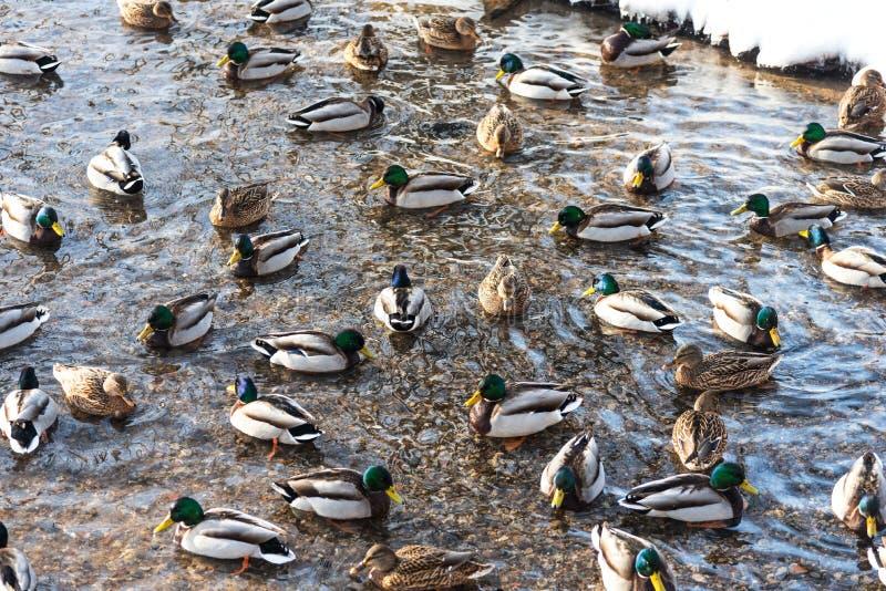 Patos de flutuação na lagoa durante no inverno imagens de stock