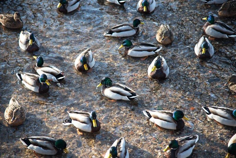 Patos de flutuação na lagoa durante no inverno foto de stock royalty free