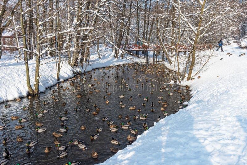 Patos de flutuação na lagoa durante no inverno fotos de stock royalty free