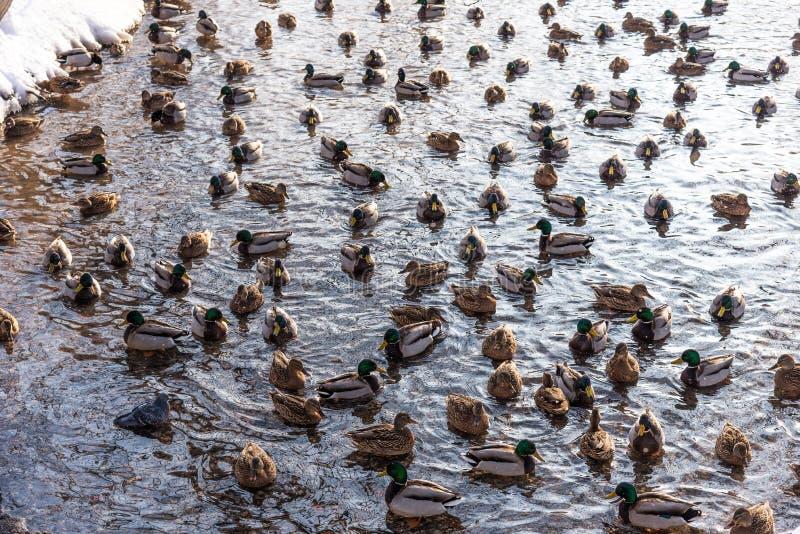 Patos de flutuação na lagoa durante no inverno imagem de stock