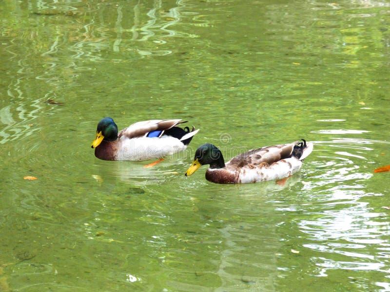 Patos de la natación imagen de archivo libre de regalías