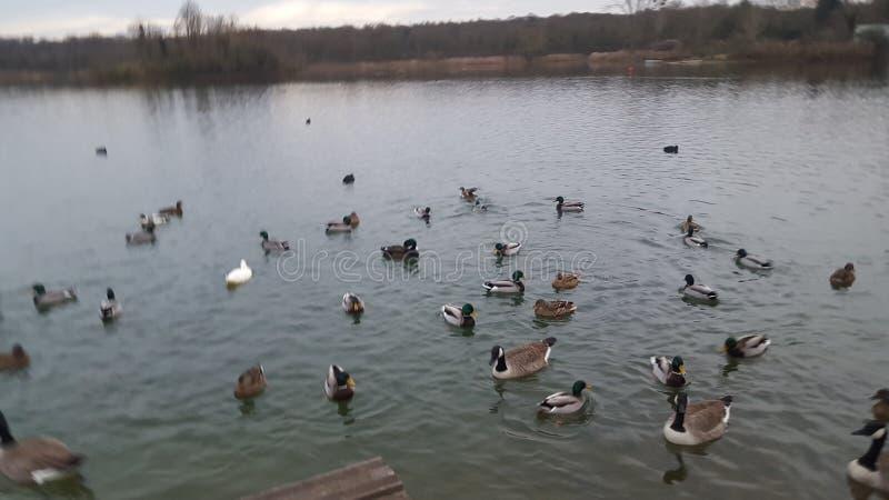 Patos de lago encantadores lake fotografía de archivo