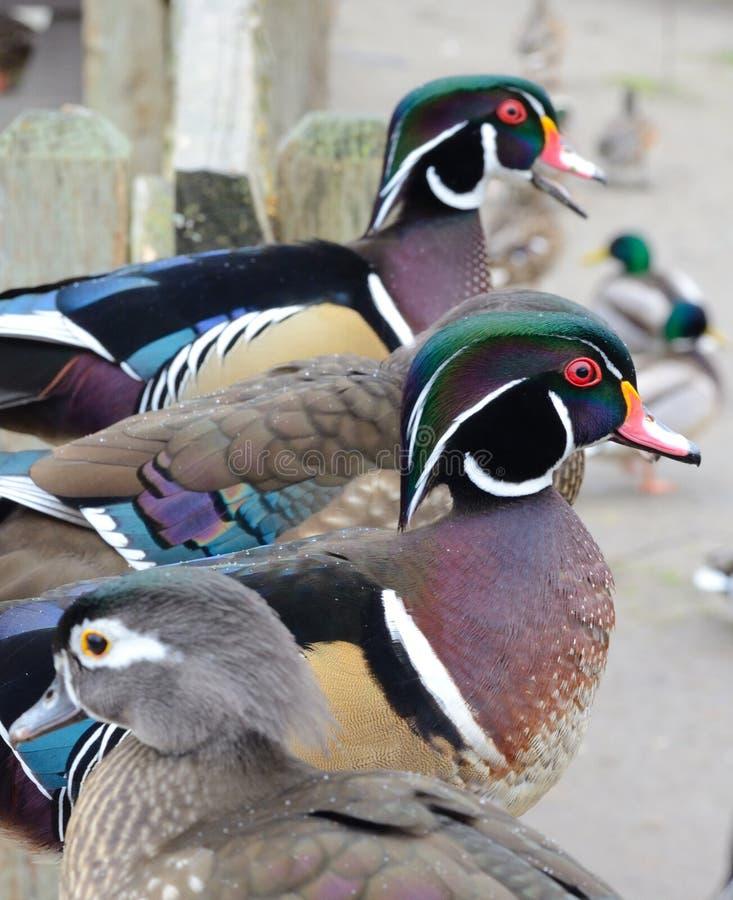 Patos, patos de los patos y más patos fotos de archivo