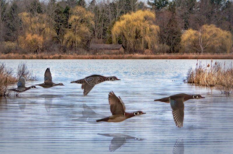 Patos de madeira da mola fotografia de stock royalty free