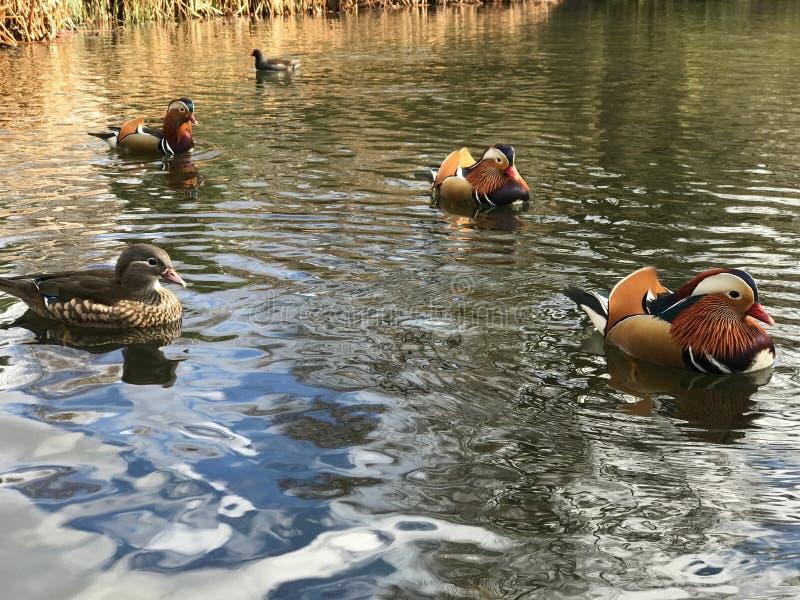 Patos de mandarino na lagoa imagem de stock royalty free