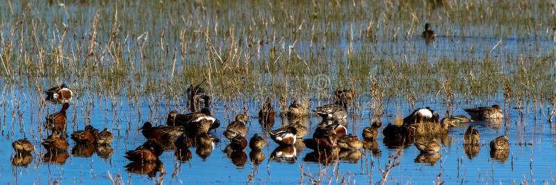 Patos de todas las clases en descanso en un pantano en la reserva de Bosque del Apache National en New México imagen de archivo