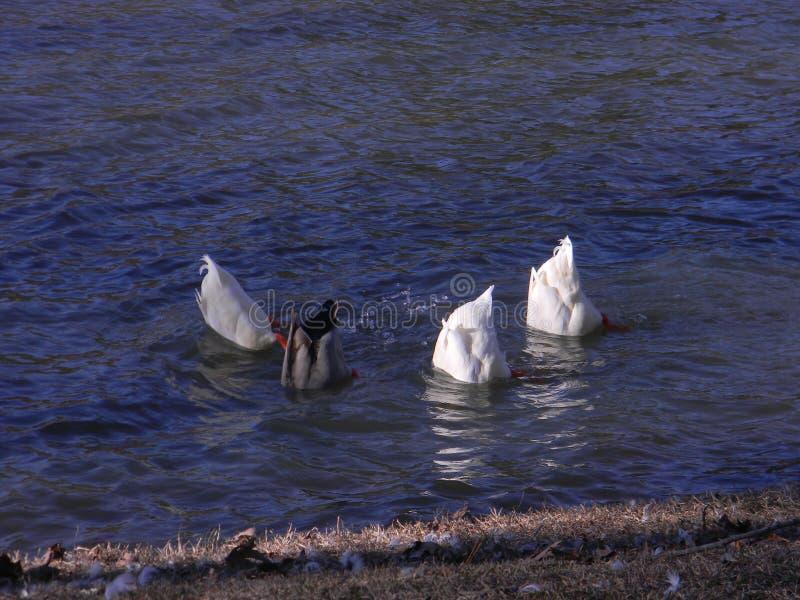 Patos debajo del agua fotografía de archivo