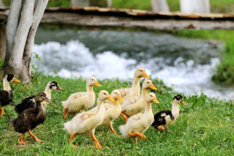 Patos del bebé en la hierba imagenes de archivo