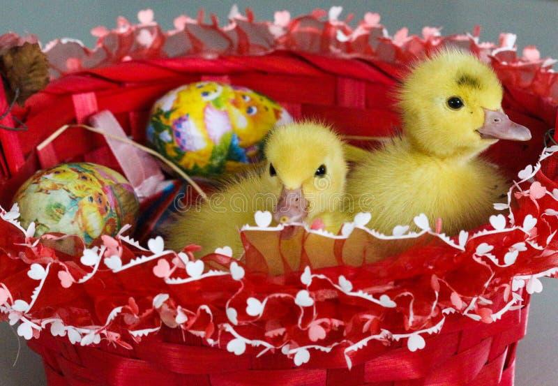 Patos del bebé y la cesta de Pascua fotografía de archivo libre de regalías