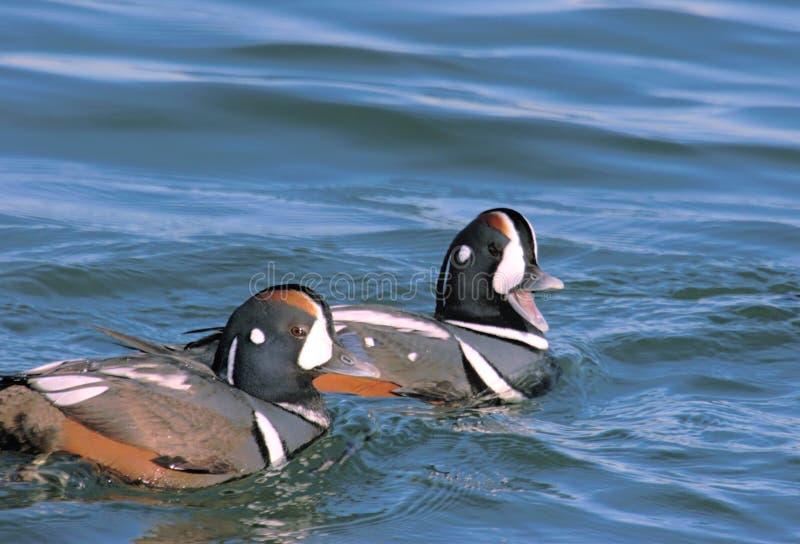 Patos del Harlequin foto de archivo