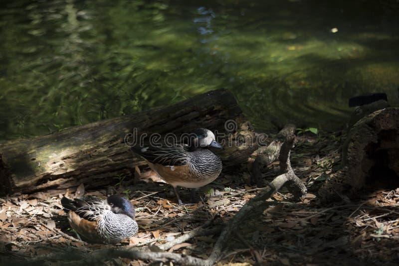 Patos del pato silbador americano foto de archivo