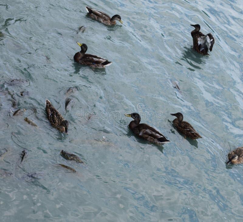 Patos del pato silvestre en la charca foto de archivo libre de regalías