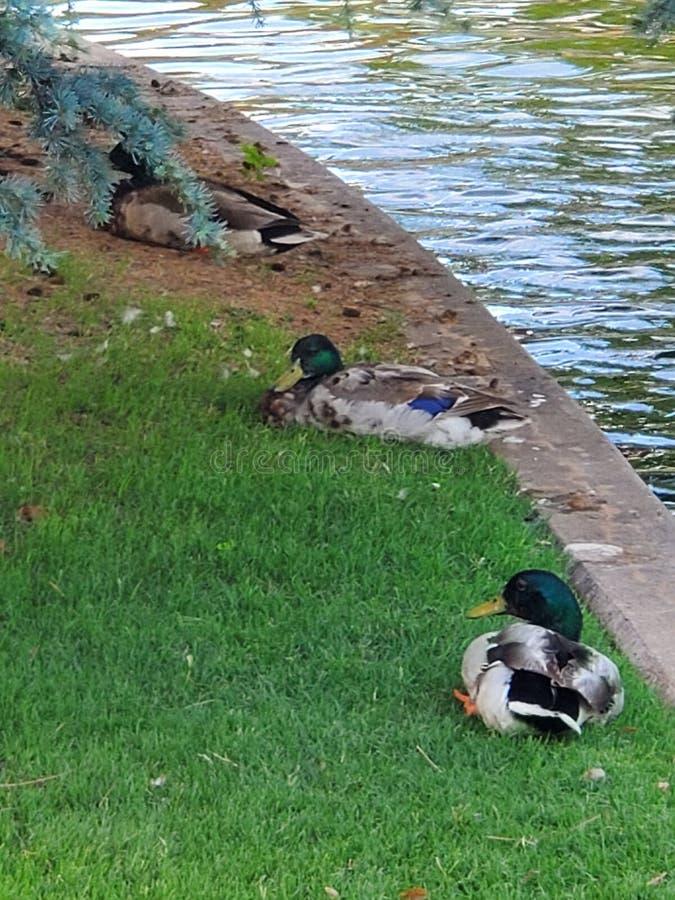 Patos del pato silvestre por un canal del río imagen de archivo