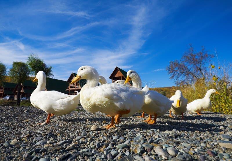 Patos, dia ensolarado do outono imagem de stock