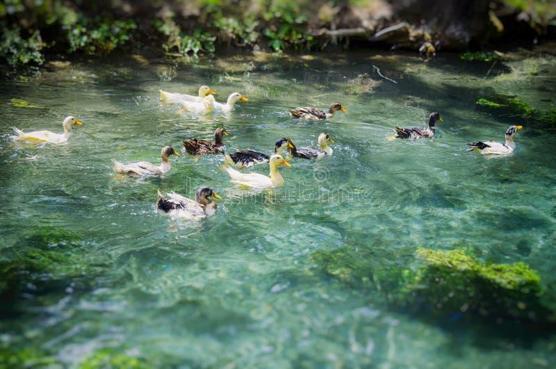 Patos divertidos fotos de archivo