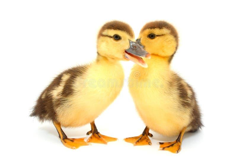 Patos do amante foto de stock