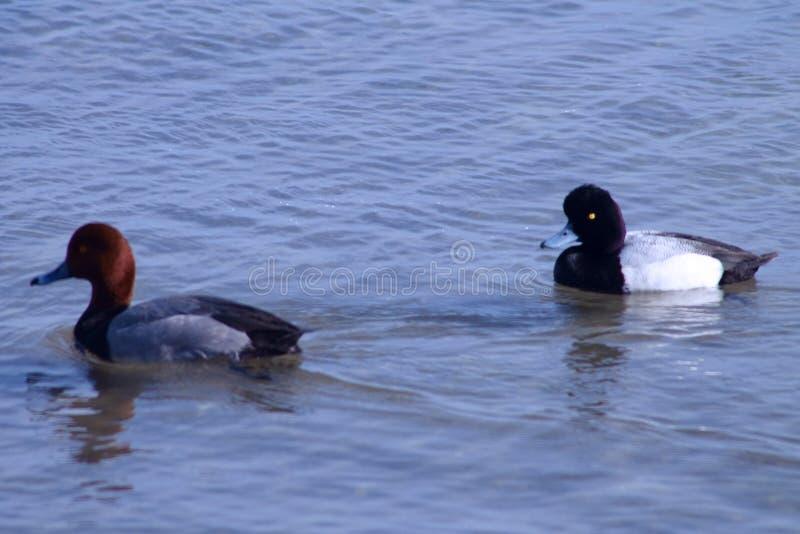 Patos do homem do ruivo e do Lesser Scaup foto de stock