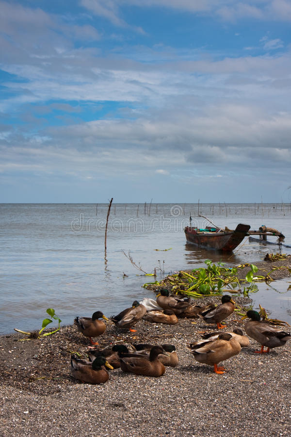 Download Patos do pato selvagem foto de stock. Imagem de barco - 10065674