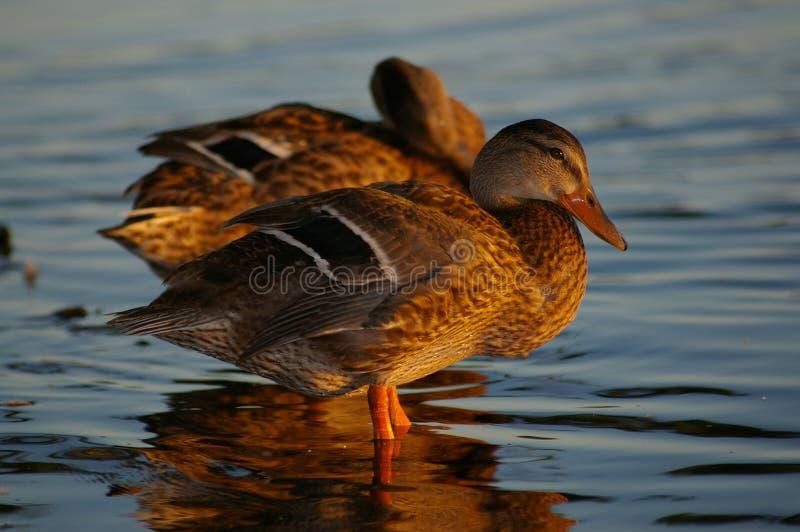 Patos do pato selvagem imagem de stock