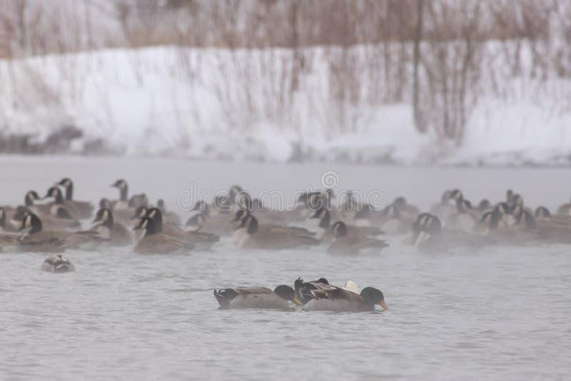 Patos do pato selvagem e gansos de Canadá em um lago - Nebraska fotos de stock