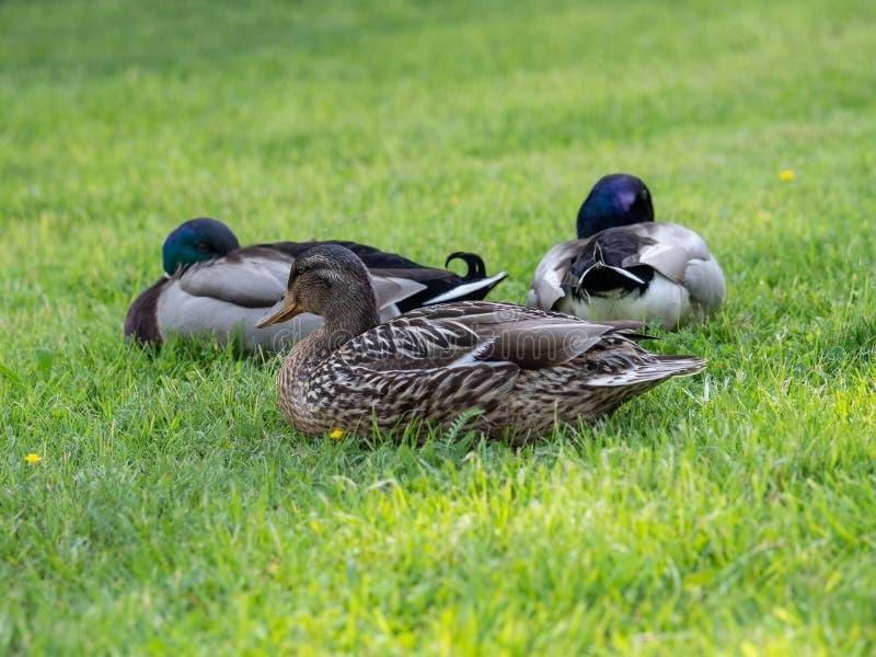 Patos do pato selvagem f?meas e masculinos na grama imagens de stock