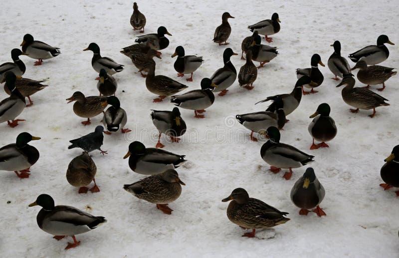Patos do pato selvagem no parque da cidade de Saratov fotografia de stock