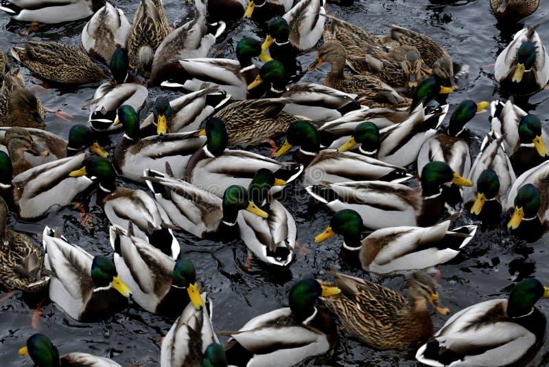 Patos do pato selvagem no parque da cidade de Saratov foto de stock royalty free