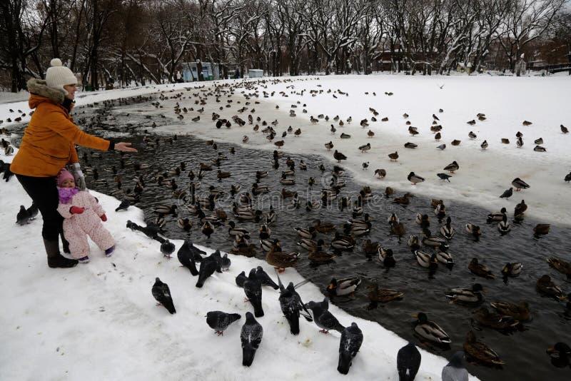 Patos do pato selvagem no parque da cidade de Saratov imagem de stock royalty free