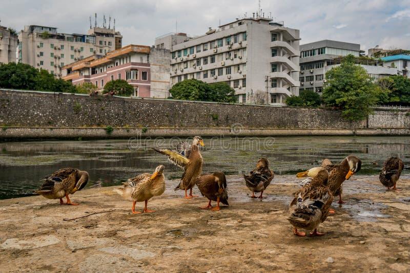 Patos em Guilin fotografia de stock royalty free
