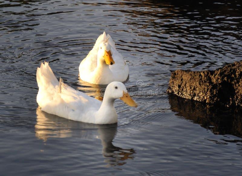 Patos em terras comuns criativas de Porto Ulisse Ognina Catania Sicilia taly - pelo gnuckx fotos de stock royalty free