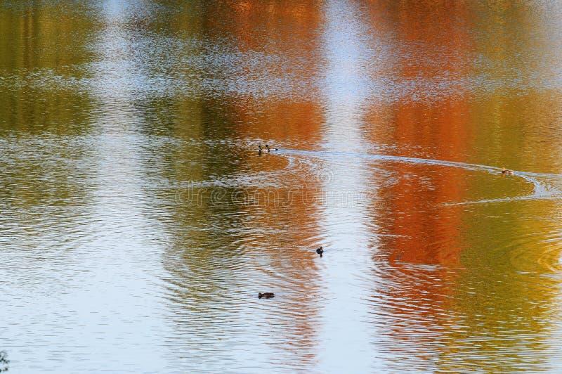 Patos em um lago imagem de stock