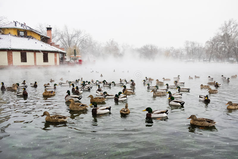 Patos en agua imágenes de archivo libres de regalías