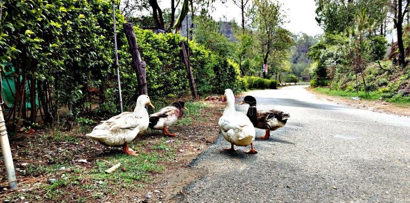 Patos en el camino foto de archivo libre de regalías