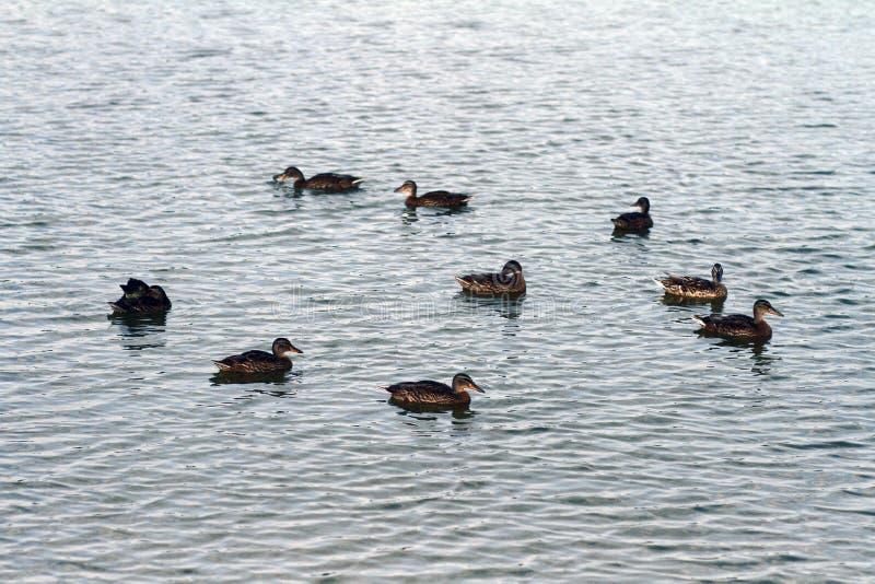 Patos en el lago fotografía de archivo libre de regalías
