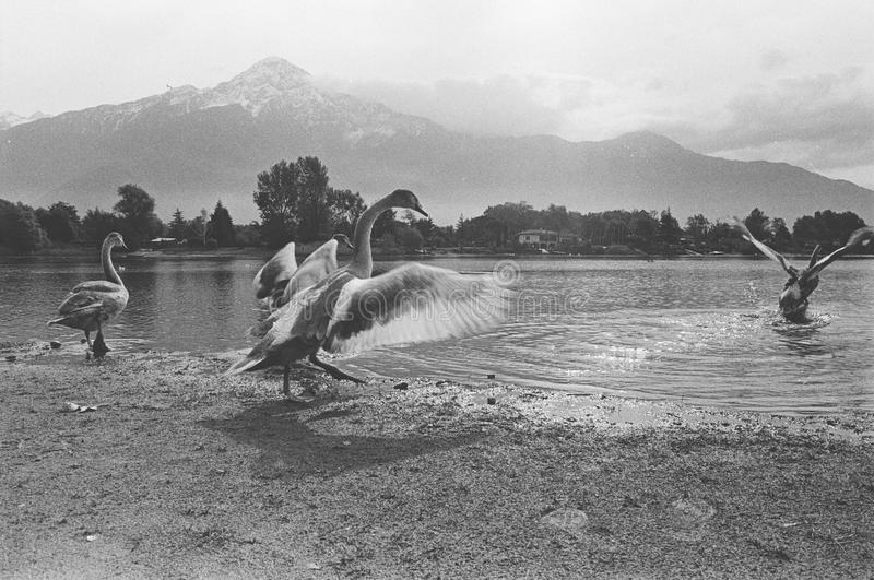 Patos en el lago de Como, marco de película, cámara análoga blanco y negro fotografía de archivo libre de regalías