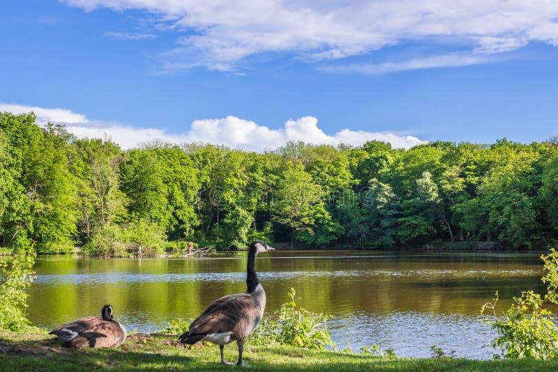 patos en el lago, verano imagen de archivo