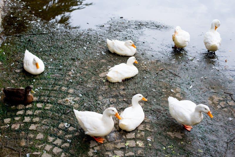 Patos en el parque en Kyoto, Japón Kyoto es temática con la atmósfera tradicional japonesa a partir hace del tiempo largo En tiem fotos de archivo