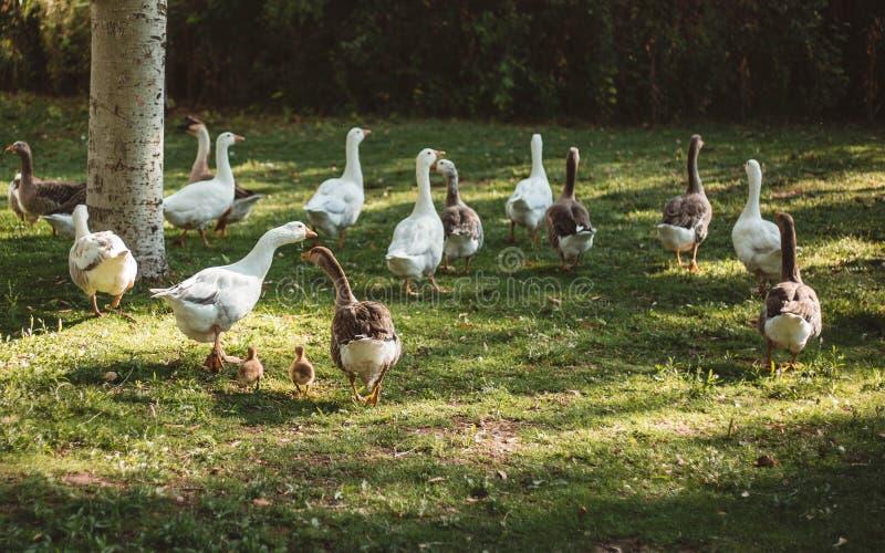 Patos en el parque que caminan con sus anadones fotos de archivo libres de regalías