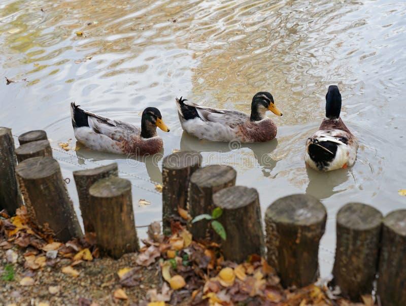 Patos en el parque zoológico de Krasnodar fotos de archivo