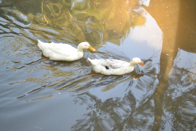 Patos en el río imagenes de archivo