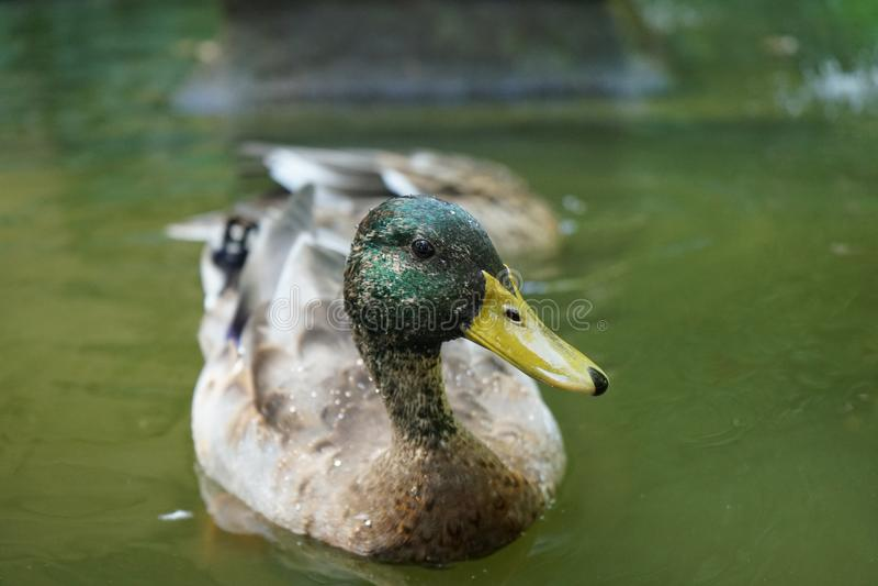 Patos en el río en Sevilla, España fotografía de archivo libre de regalías