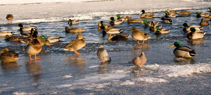 Patos en invierno imágenes de archivo libres de regalías