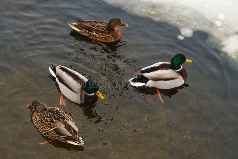 Patos en la charca del invierno imagen de archivo libre de regalías