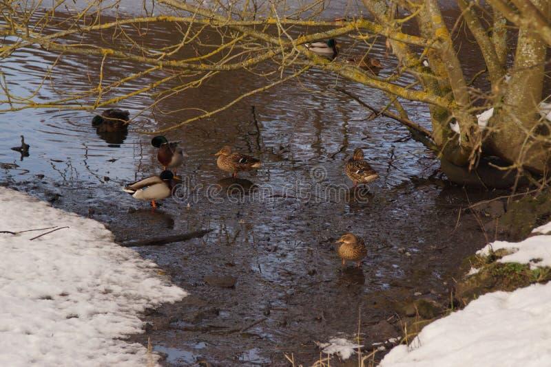 Patos en la nieve, delante de un lago helado imagen de archivo