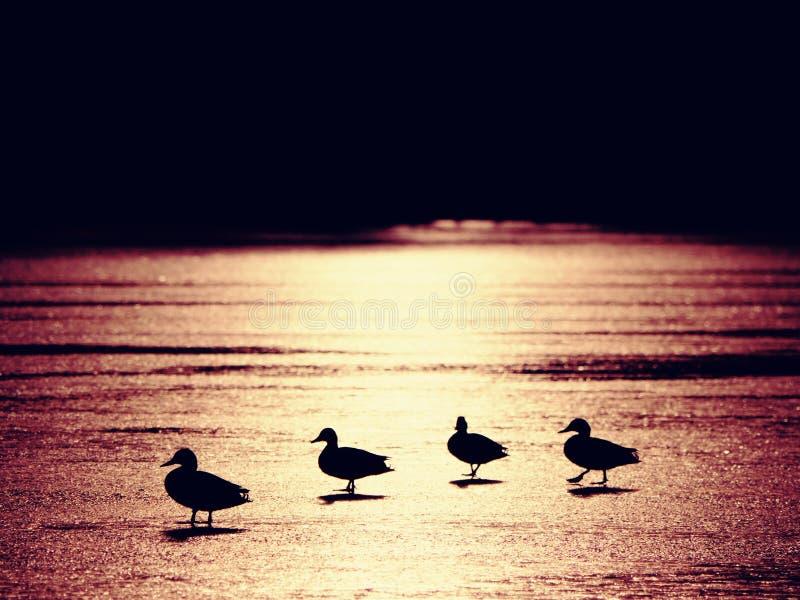 Patos en la pequeña parte no congelada del lago, igualando el sol imagen de archivo