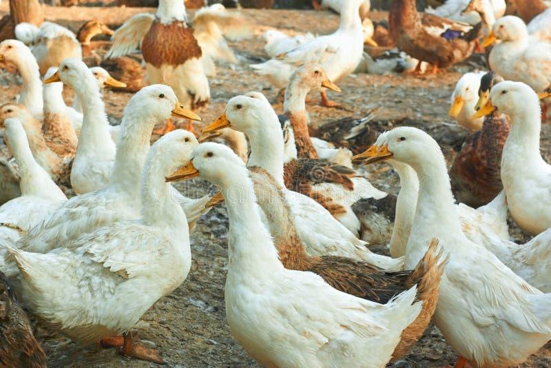 Patos en la yarda de las aves de corral fotografía de archivo