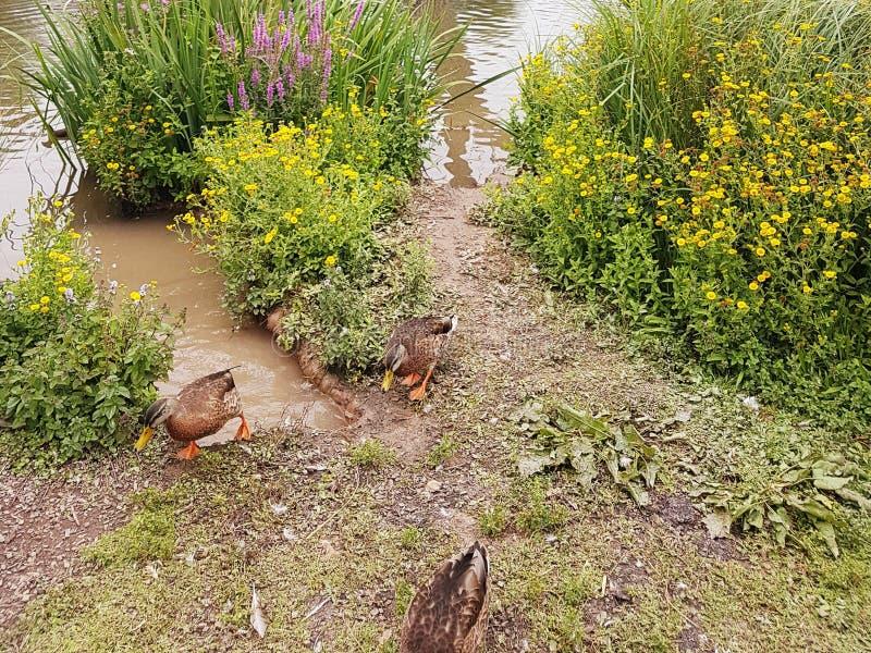 Patos en una orilla del lago imagen de archivo