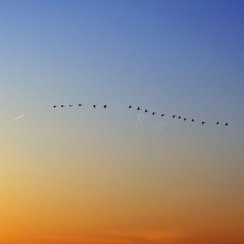 Patos en vuelo, puesta del sol imagenes de archivo