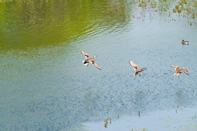 Patos femeninos del pato silvestre - platyrhynchos de las anecdotarios fotos de archivo libres de regalías